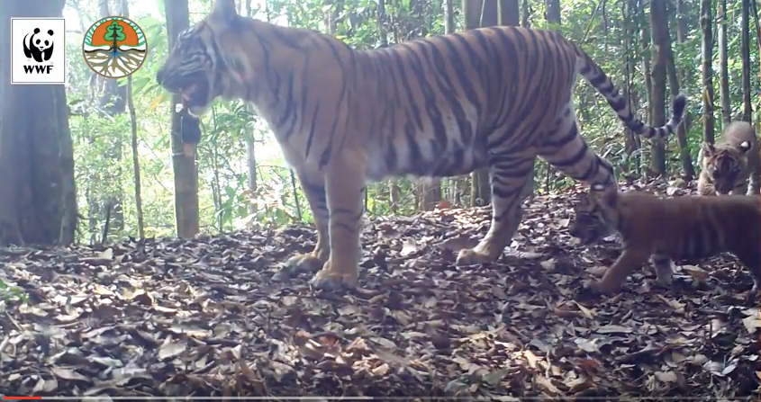 A tiger mom and her cubs captured on camera roaming a